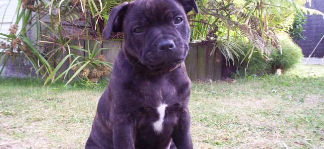 Kjøpe Staffordshire Bull Terrier?