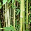 Hva er Bambus?