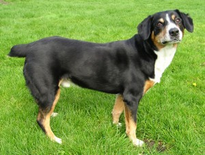 bastard-blandingshund