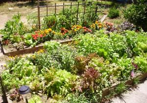 Grønnsaker liker seg når de dyrkes midt i hagen, der det er sol og lys.