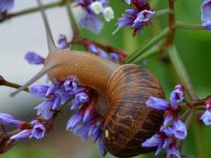 iberia-morder-snegle