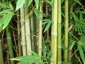 bambus-hva-er