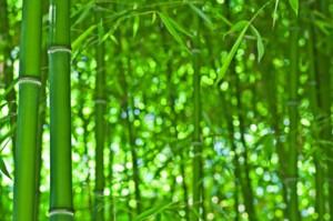 Bambus vokser raskt